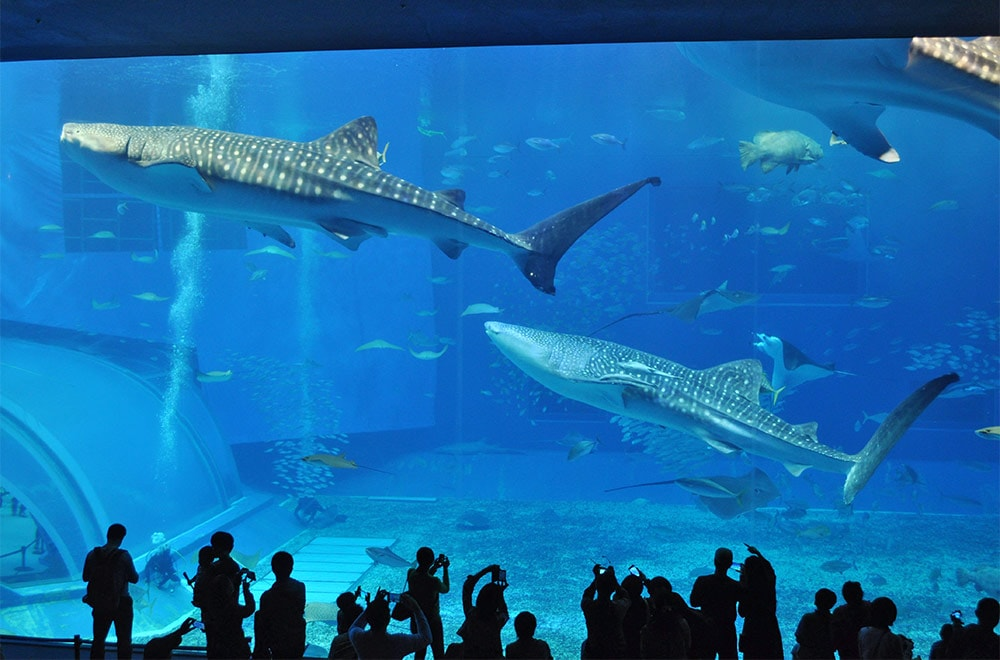 Whale Shark Crowd Aquarium Okinawa