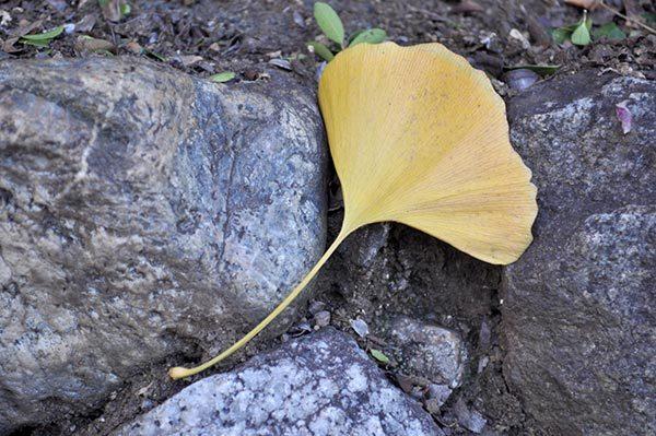 Ginko Leaf Japan
